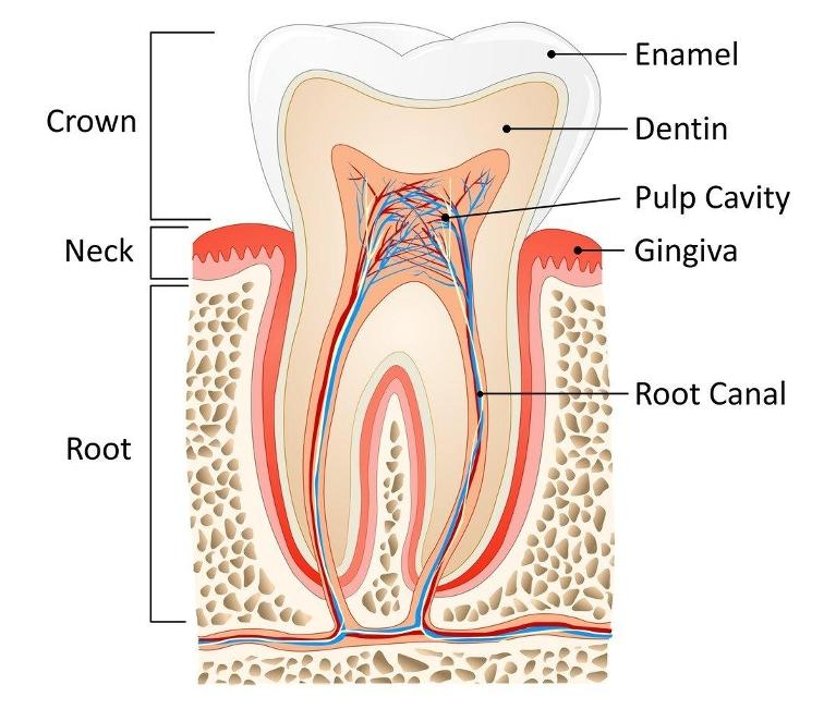 Root Canal Diagram | Chesterfield MO