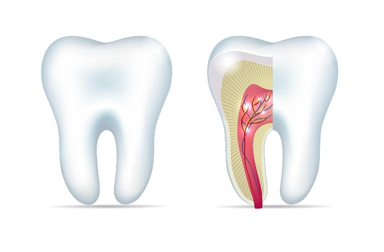 Illustration of tooth and tooth root